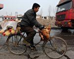 山西一男子以單車運送活雞(AFP)
