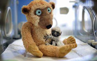 組圖:法國動物園珍貴的狐猴寶寶