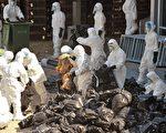 香港各區禽鳥感染禽流感的情況有惡化跡象,情況令人擔憂。圖為去年12月,當局認為H5N1病毒有積聚及擴散的可能性,宣佈即時殺絕全港活雞。(AFP)