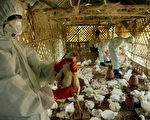 印度東部也傳禽流感疫情,衛生單位在錫金省撲殺逾四千隻的家禽。(PARTHAJIT DATTA/AFP/Getty Images)