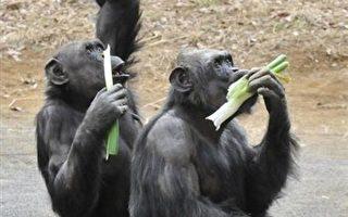 黑猩猩心機 未雨綢繆能力不下人類