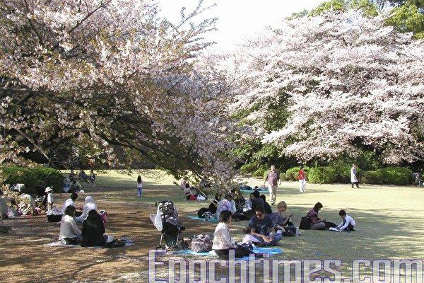 每年四月櫻花盛開期間,日本人會與親朋好友帶上便當一起賞花遊樂。(攝影:盧勇/大紀元)