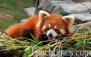 海洋公園小熊貓成港人新寵