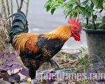 鸡年说民俗,贴鸡画窗花,来鸡辟邪。(大纪元)
