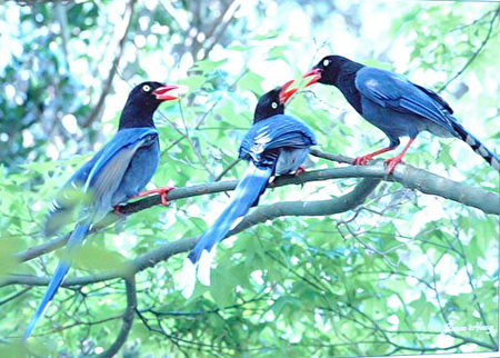 七夕到,传说鹊鸟年年为牵牛织女一年一会搭鹊桥。(摄影:丽丝/大纪元)