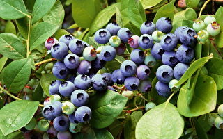 蓝莓。(图片来源﹕Getty Image)