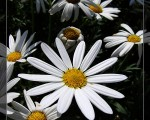 小野菊在路边的盛开,揭示的是生命的韧性与活力。(图:大纪元)