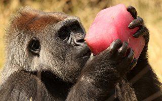 首见!大猩猩为爱滋病带原者