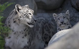 组图:洛动物园新宠 小雪豹亮相