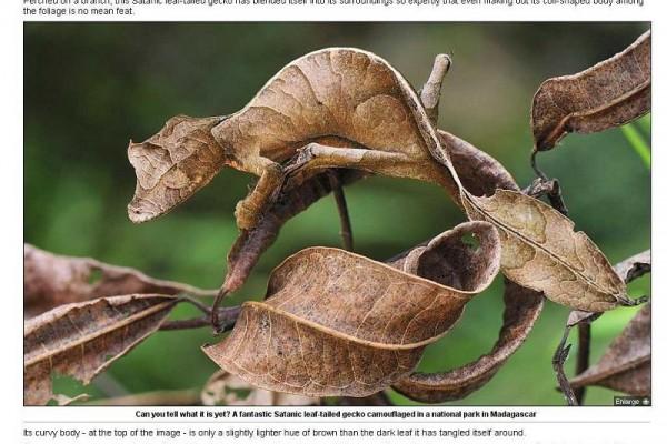 秋風中的一片枯萎樹葉,仔細觀察才發現原來是隻「惡魔葉尾壁虎」。(英國《每日郵報》網站擷圖)