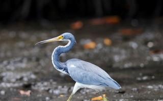 組圖:薩爾瓦多紅樹林沼澤 鳥類天堂