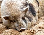 造业为猪遭天报 因果善恶待时到