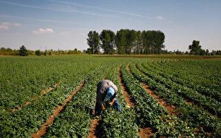 科罗拉多州的一家农场,美国许多农场依赖移民劳工 (Photo by John Moore/Getty Images)