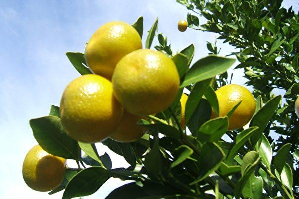 """""""柑橘之州""""产量锐减 进口需求激增"""