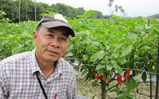 戴辉荣历经4年,克服土壤及气候因素,成功栽种金氏世界记录世界第一辣,印度鬼椒。(屏东农业处提供)