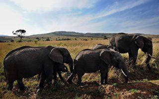 肯亞大象狂奔 美國母女被踩死