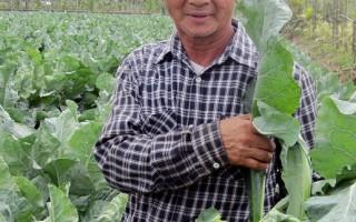 """有""""蕃茄老爹""""称号的屏东县盐埔乡农民徐耀明,喜欢种植一些奇奇怪怪的蔬果,他 2个多月前栽种少见的黄色花椰菜,即将采收上市。(屏东县政府提供)(中央社)"""