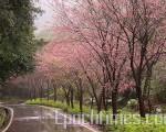 三芝早樱在雨中绽放(摄影/蔡采玲)