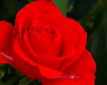 周西水对人讲,自己前世是某邑的人,经常到某某地方玩耍,曾在院子里放了一个案几,院子里有一丛红蔷薇。(摄影:王嘉益 / 大纪元)