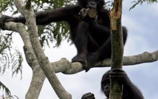 科學家們指出,與人類關係最親近的靈長類動物侏儒黑猩猩(bonobo),展現出一種自願與同伴分享食物的傾向。 (圖片來源:ISSOUF SANOGO/AFP/Getty Images)