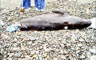 偽虎鯨擱淺死亡 尾部被偷走