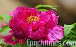 組圖:牡丹花季開鑼 台灣杉林溪見傳奇