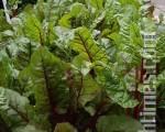 曾先生栽种的瑞士甜菜(摄影:曾清钿/大纪元)