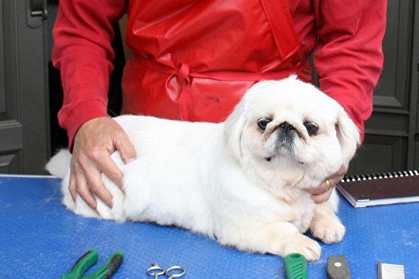 圖:養狗20多年,專業6年的愛狗專家郭樹人,介紹為狗剪毛造型DIY的方法,樂趣多又能省錢。當天的模特為CC小姐。(攝影:袁玫/大紀元)