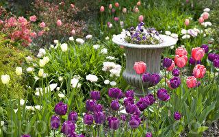 皇后植物园盛开色彩鲜艶的郁金香。(摄影:徐明/大纪元)
