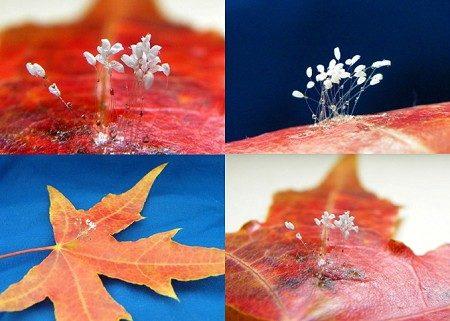 2009年10月21日,在中国辽宁发现在飘落的枫叶上盛开圣洁的优昙婆罗花,纤细的花瓣,花朵褶皱和花蕊清晰可辨。(明慧网)