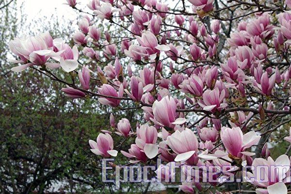 2010年加拿大安省的春天(摄影:周行/大纪元)