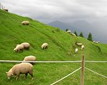 """""""绵羊-山羊效应""""给人们常说的""""信则灵,不信则无""""提供了实验基础,在心理学上提供了科学依据。(摄影:李昀茱/大纪元)"""