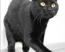 全球首例!英貓雙腿裝義爪 走爬跑ok