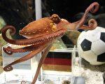 """章鱼""""保罗哥""""对于比赛的胜负具有""""神奇的预测功能""""。在德国队参加过的7场比赛中,它全部预测成功。(AFP)"""