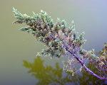 非落叶树一般比落叶树活的要长久一些。它们与落叶树相比,选择了不同的生存方式。(摄影:王嘉益 / 大纪元)