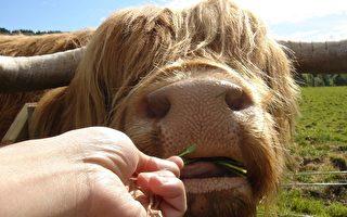 披头散发的高地牛,竟然掳获游客的心。(照片提供/罗秀文)