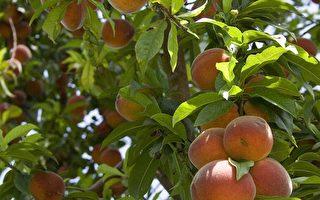 今年夏天连续不断的热浪带来水果的大丰收。图为农场上果实累累的桃树。(大纪元资料图片)