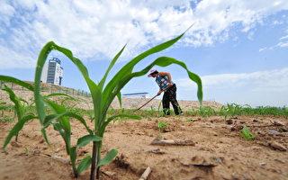 外电:中国大规模进口美国玉米之谜