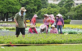 即将进驻花毯节场地所需的30万盆草花,引发浪费之嫌。(摄影:苏玉芬/大纪元)