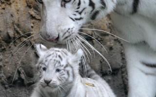 组图:德国霍登哈根动物园  罕见白老虎宝宝亮相