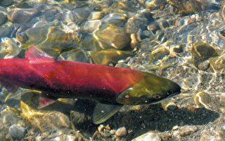 大温哥华三文鱼失而复得  回游创百年记录