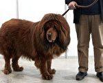 經考證,藏獒是犬類世界唯一沒有被時間和環境所改變的古老的活化石。被認為是「世界上最古老、最稀有、最兇猛的大型犬種」。西藏的措美、那曲和青海的玉樹藏族自治州等地是藏獒的主要產地。(Photo by Guang Niu/Getty Images)