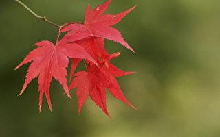 乘着淡淡的暖意,掠过轻巧的树影,染红了几片叶子,方才知道秋来了。(大纪元图片)