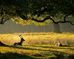 2010年10月11日,英国林姆,秋天来临,树叶变黄,树林中的鹿。 (Christopher Furlong/Getty Images)