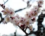 经过严冬考验的梅花将迎接春天的到来。(摄影:洪一夫 / 大纪元)