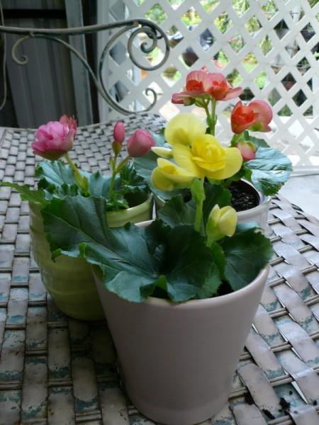 麗格海棠因花形亮麗耀眼,近年已漸成秋冬盆花要角。(蕙蘭提供)