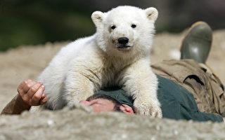組圖:北極熊「克努特」四歲憶往