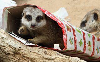 組圖:聖誕禮物 悉尼動物園訓練新招兒