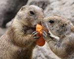 科學家指出,土撥鼠的叫聲其實是複雜的語言。(BARBARA SAX/AFP/Getty Images)
