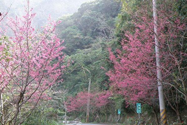 霧台鄉的櫻花綻放,從霧台鄉公所往上霧台、阿禮村方向,沿途已可看到粉嫩的櫻花從樹梢探頭,為翠綠山林抹上一抹嬌紅。(屏東縣政府提供)